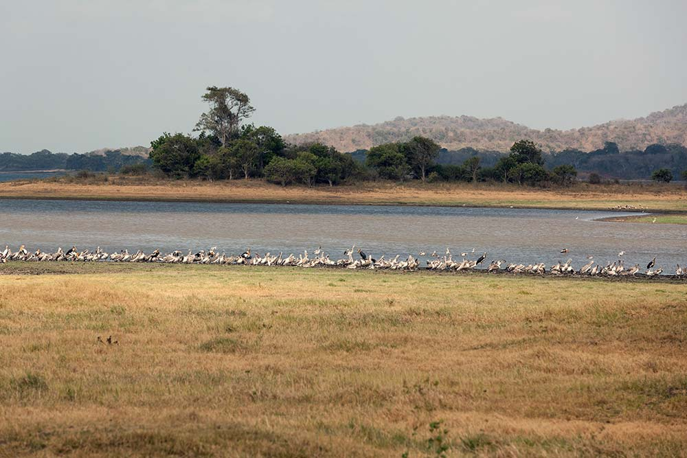 There are a wide variety of birds in Minneriya in addition to elephants.