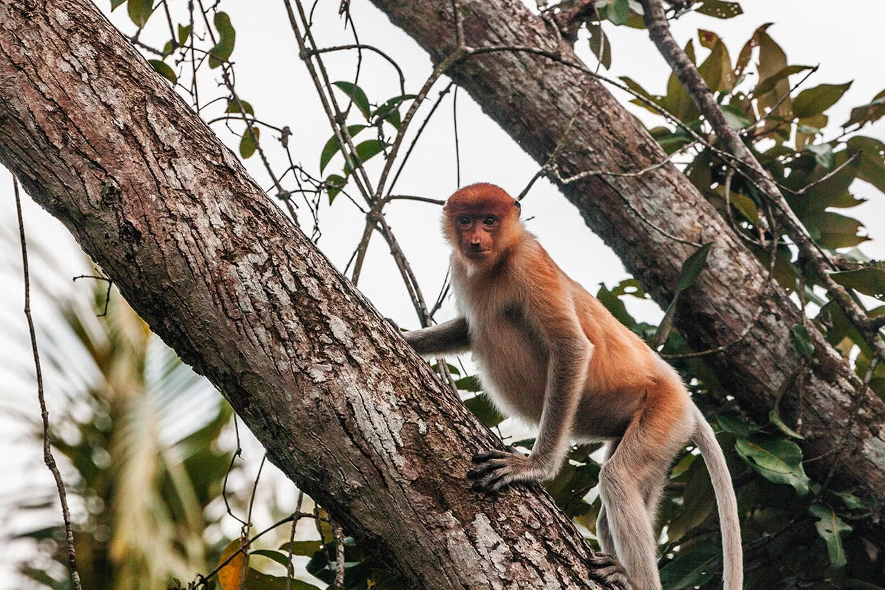 Proboscis monkey in the mangroves just outside Bandar Seri Begawan, Brunei.