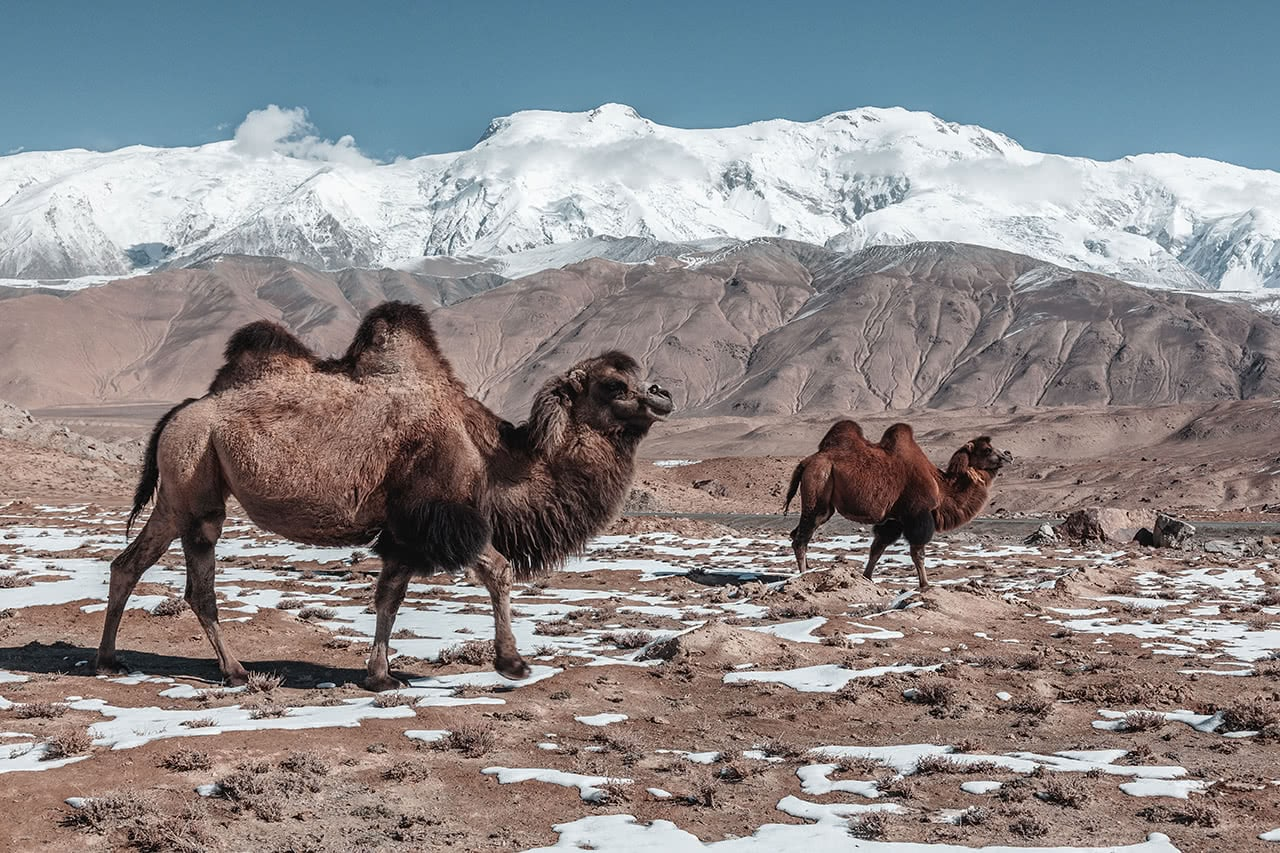 Bactrian camels and snowcapped mountains along the Karakoram Highway in western China.