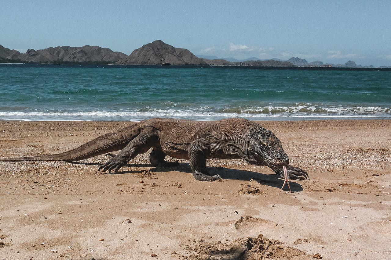 Large komodo dragon on the beach at Komodo Island, Indonesia.
