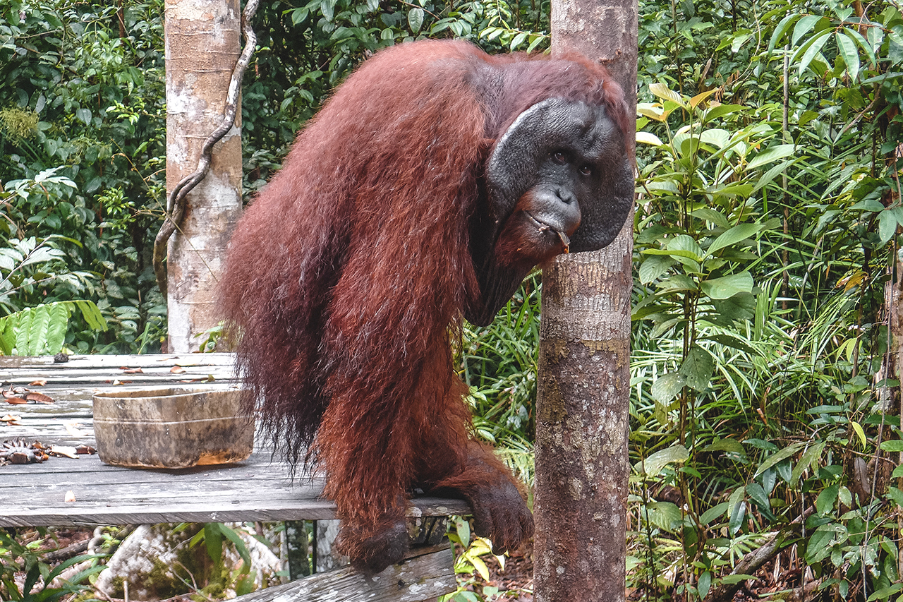 Male orangutan at the Pondok Tangguy feeding station in Tanjung Puting National Park, Indonesia.