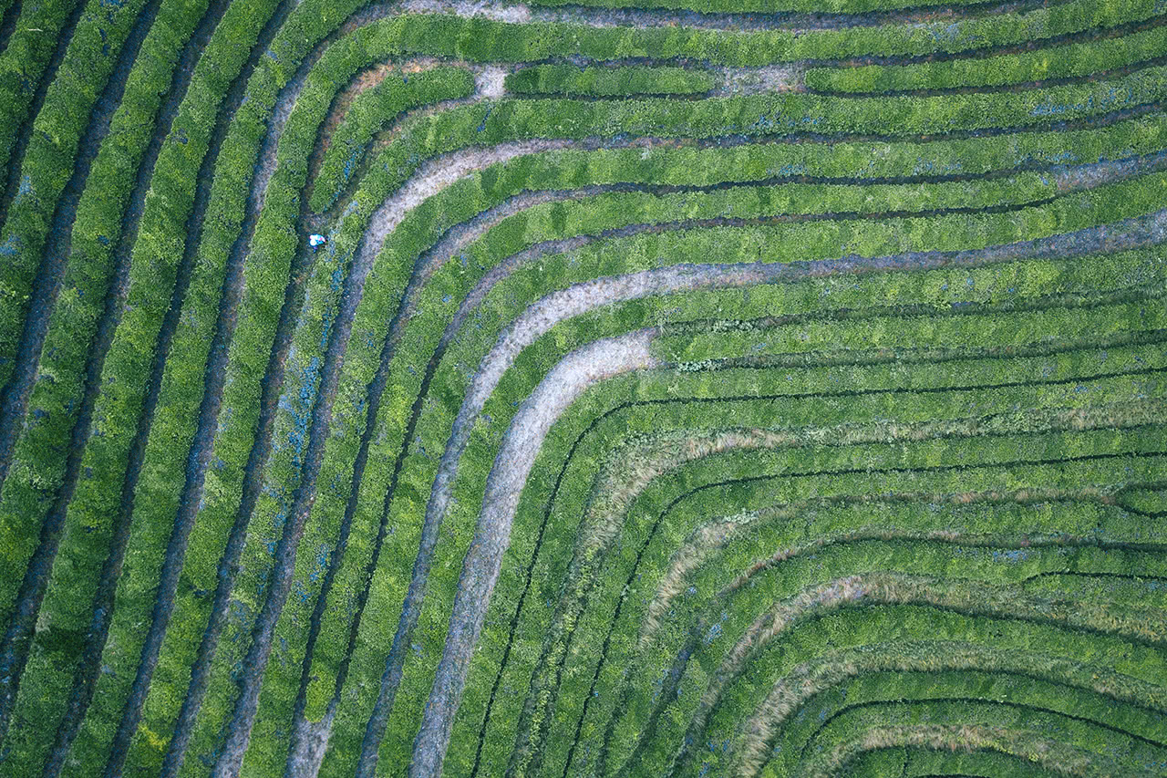 Drone view looking down at the Boseong tea plantation in Korea.