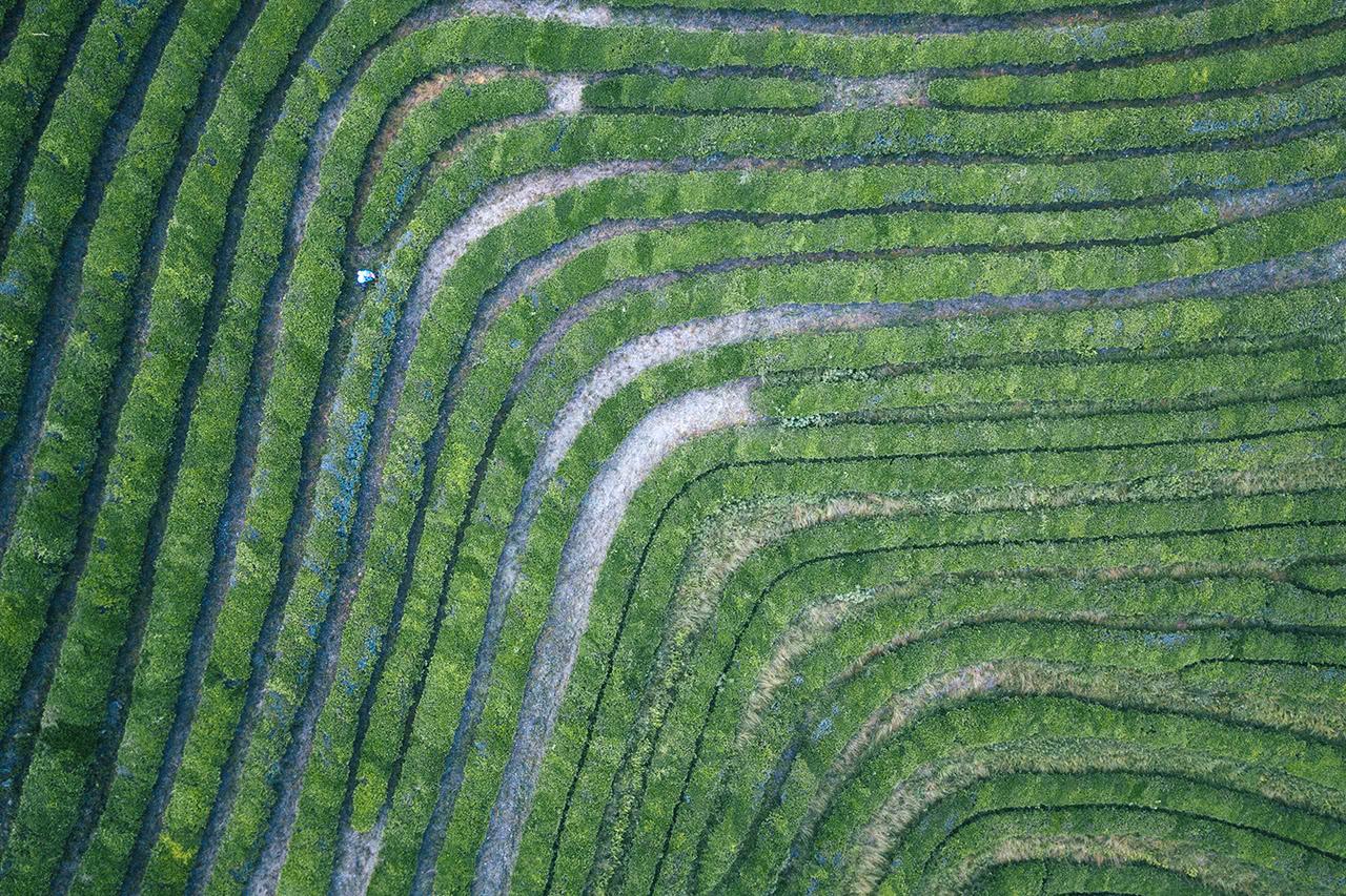 Drone view looking down at the Boseong tea plantation in Korea.