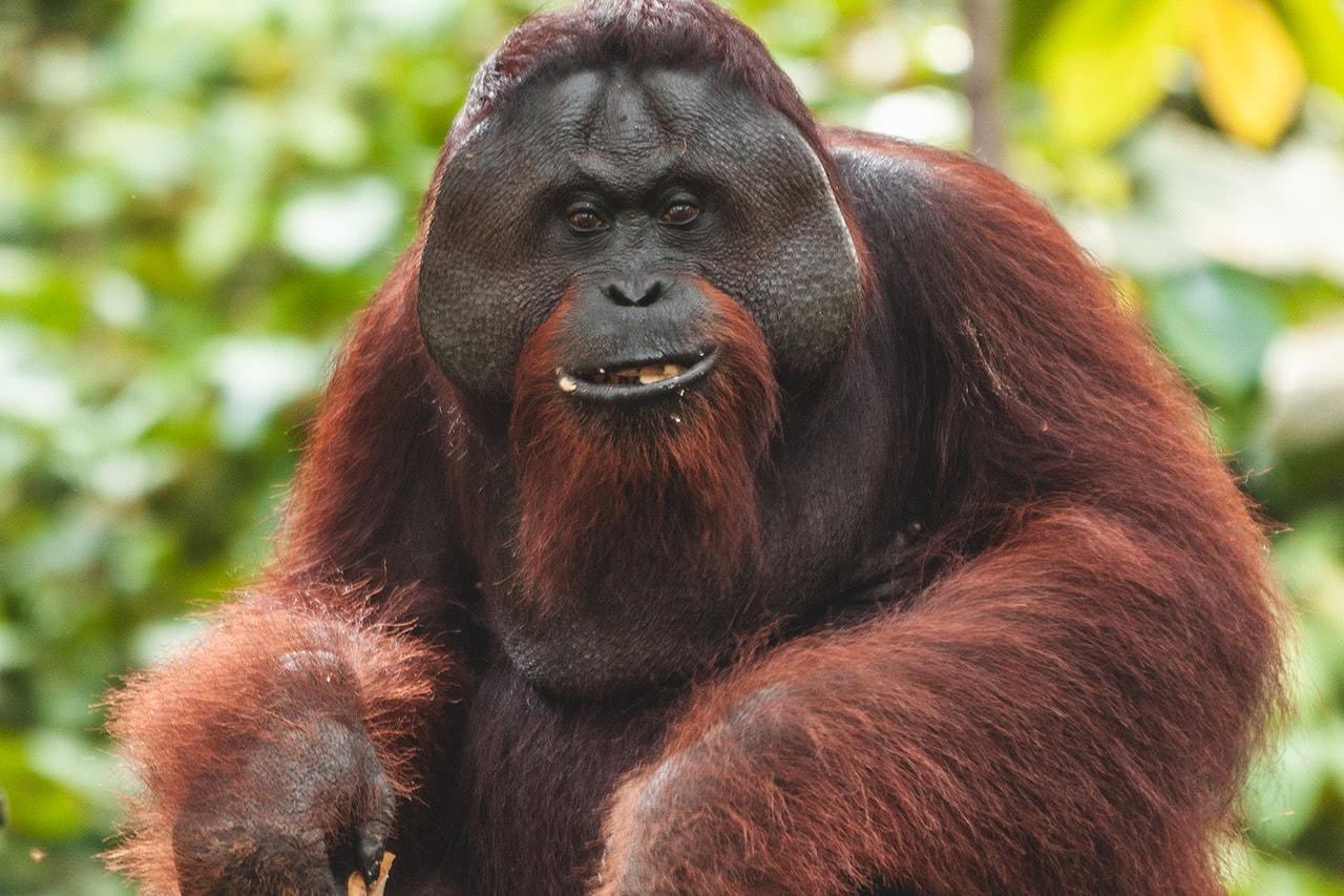 A large male orangutan at the Sepilok Orangutan Rehabilitation Centre in Malaysia.