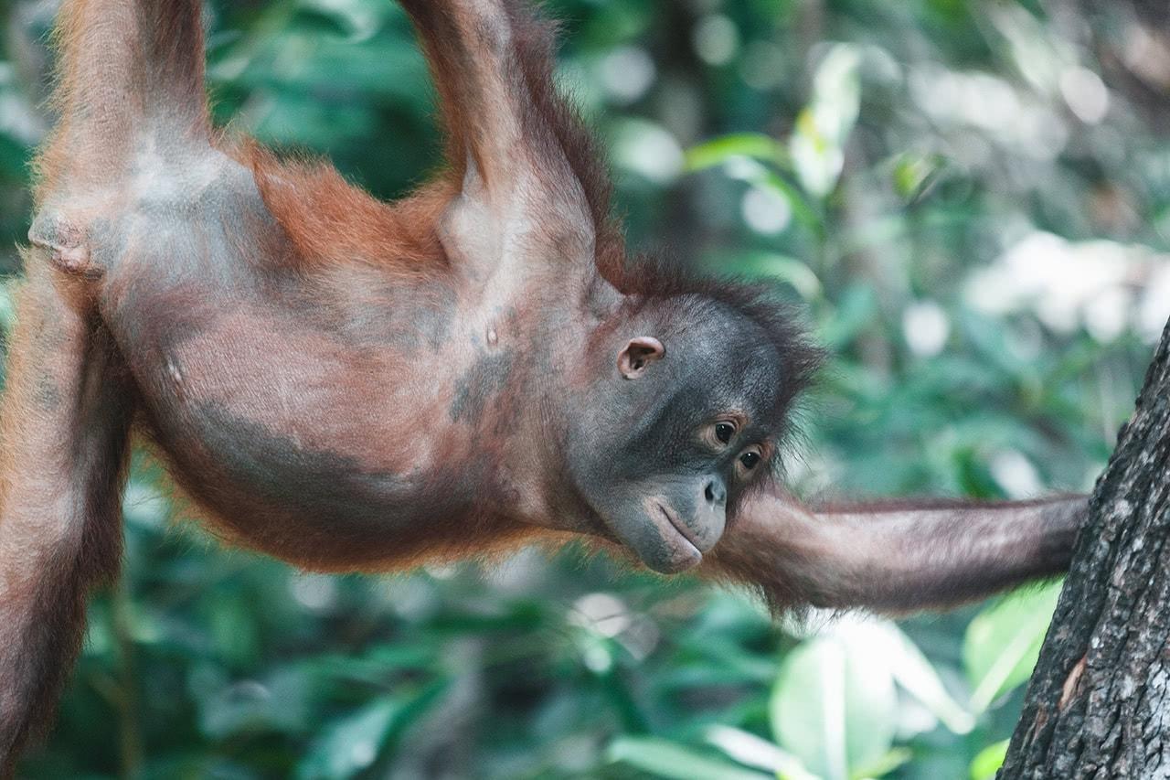 Young orangutan at the Shangri-La Rasa Ria rehabilitation center.