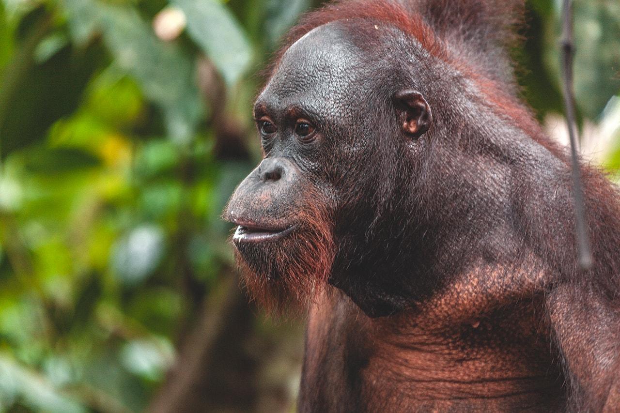 An orangutan at the Sepilok Orangutan Rehabilitation Centre in Malaysia.