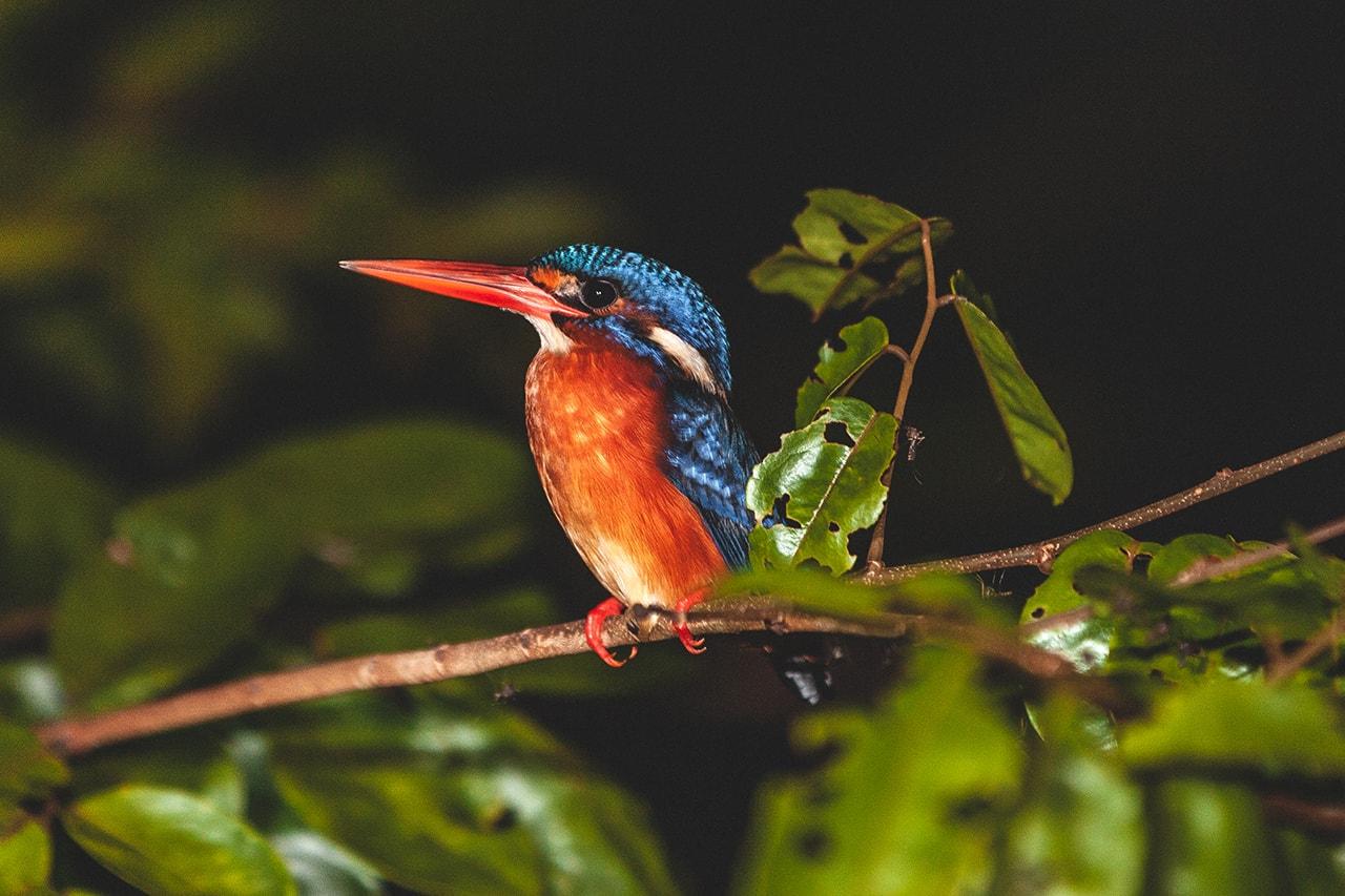 A Kingfisher on the Kinabatangan River, Malaysia.