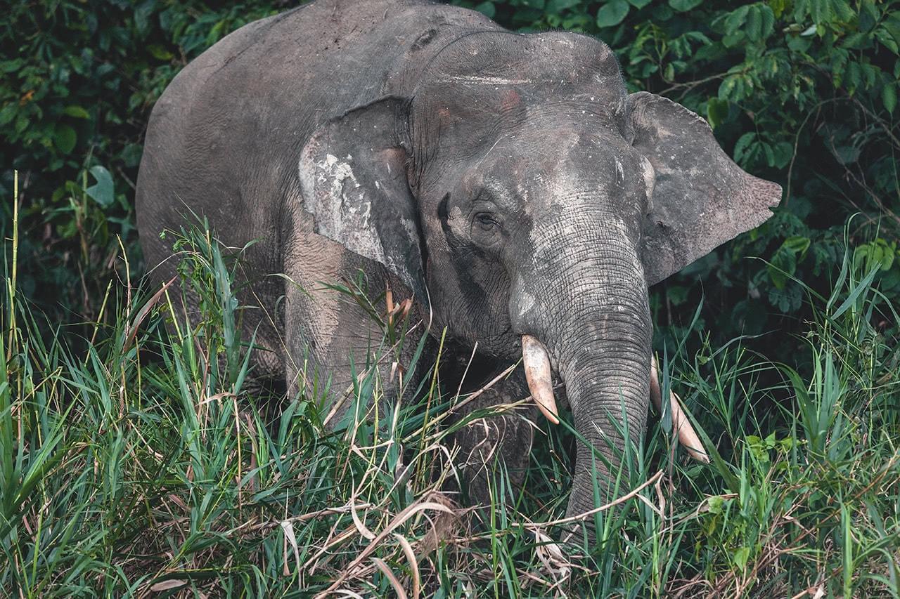 Pygmy elephant in Albai, Kinabatangan River, Malaysia.