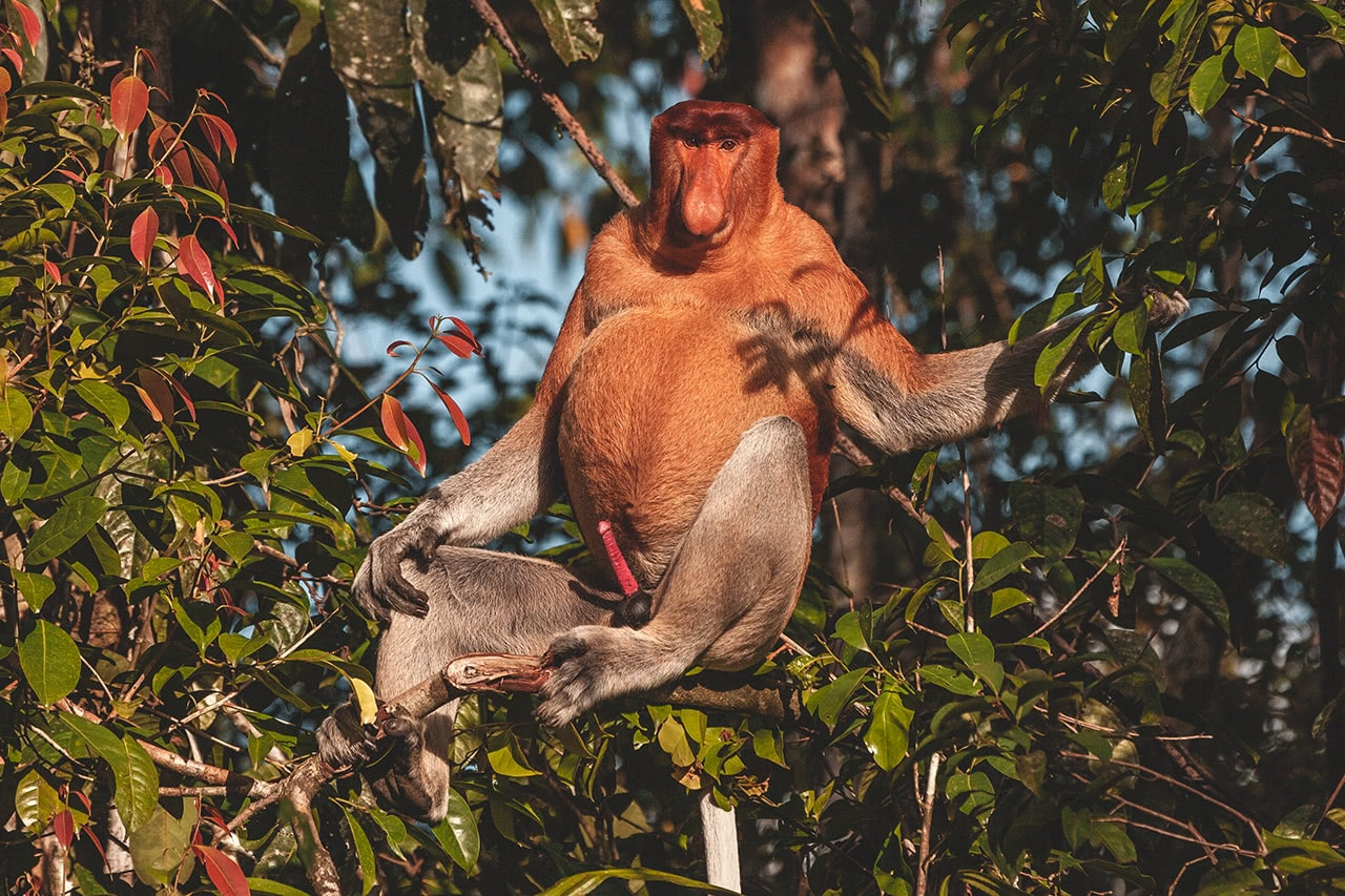 "A male proboscis monkey, part of a ""bachelor troupe"" on the Kinabatangan River in Malaysia."