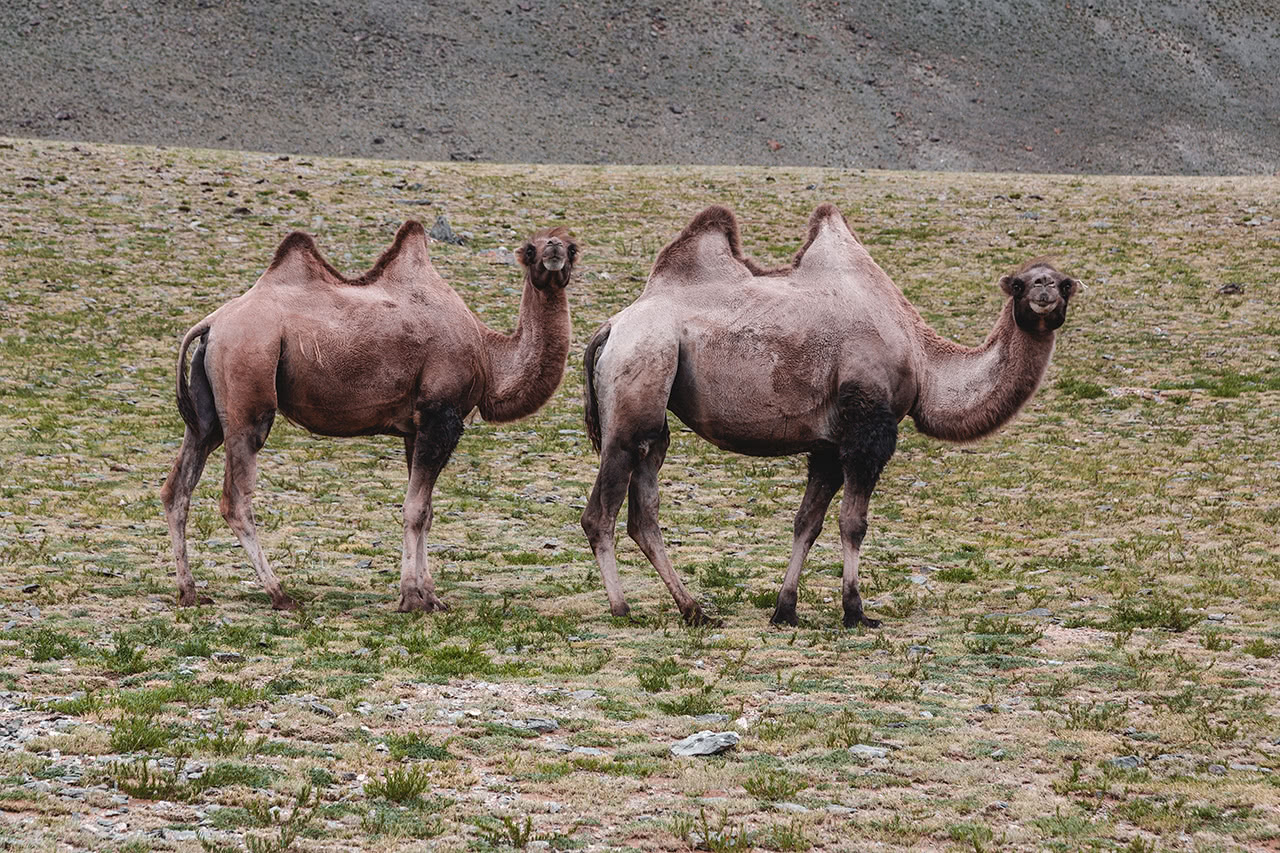 Camels in Khovd province, western Mongolia.