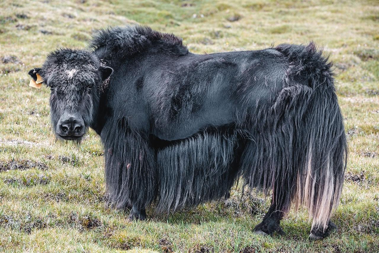 A yak in Bayan Ulgii, western Mongolia.