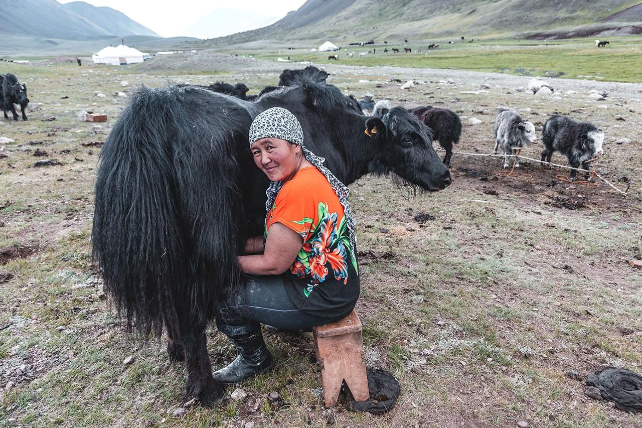 Milking a yak in Bayan Ulgii, Mongolia