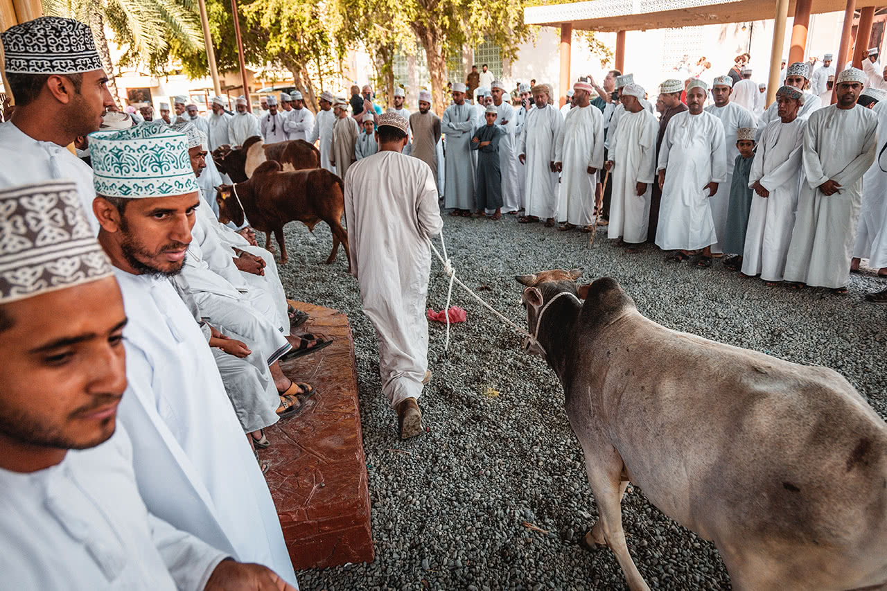 Cattle being brought out for auction at the Nizwa cattle market in Oman.