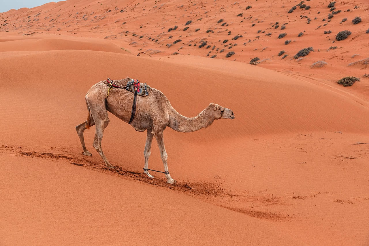 A camel walking in the dunes of the Sharqiya Sands, also known as the Wahiba Sands in Oman.
