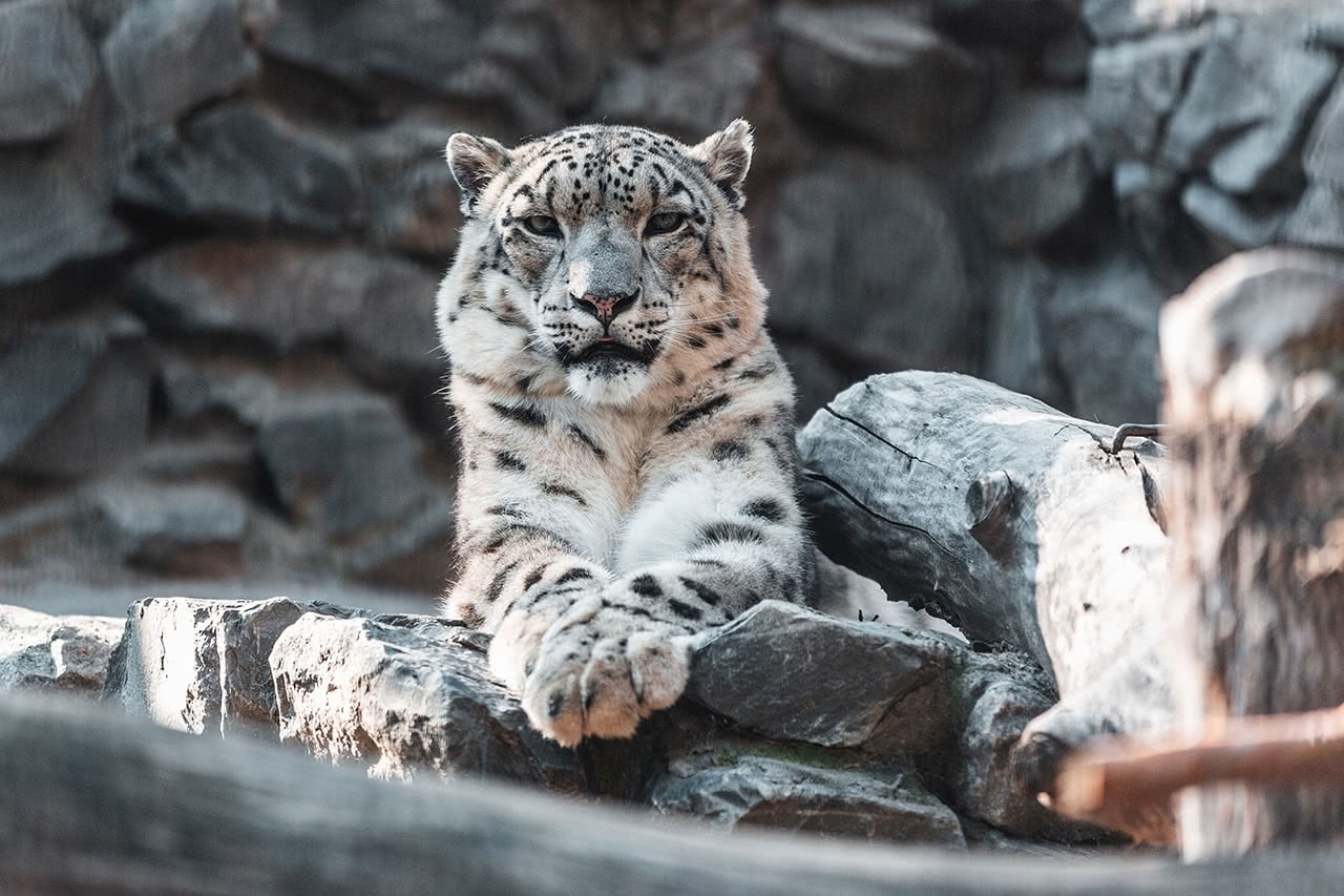 Snow leopard at the Novosibirsk Zoo.