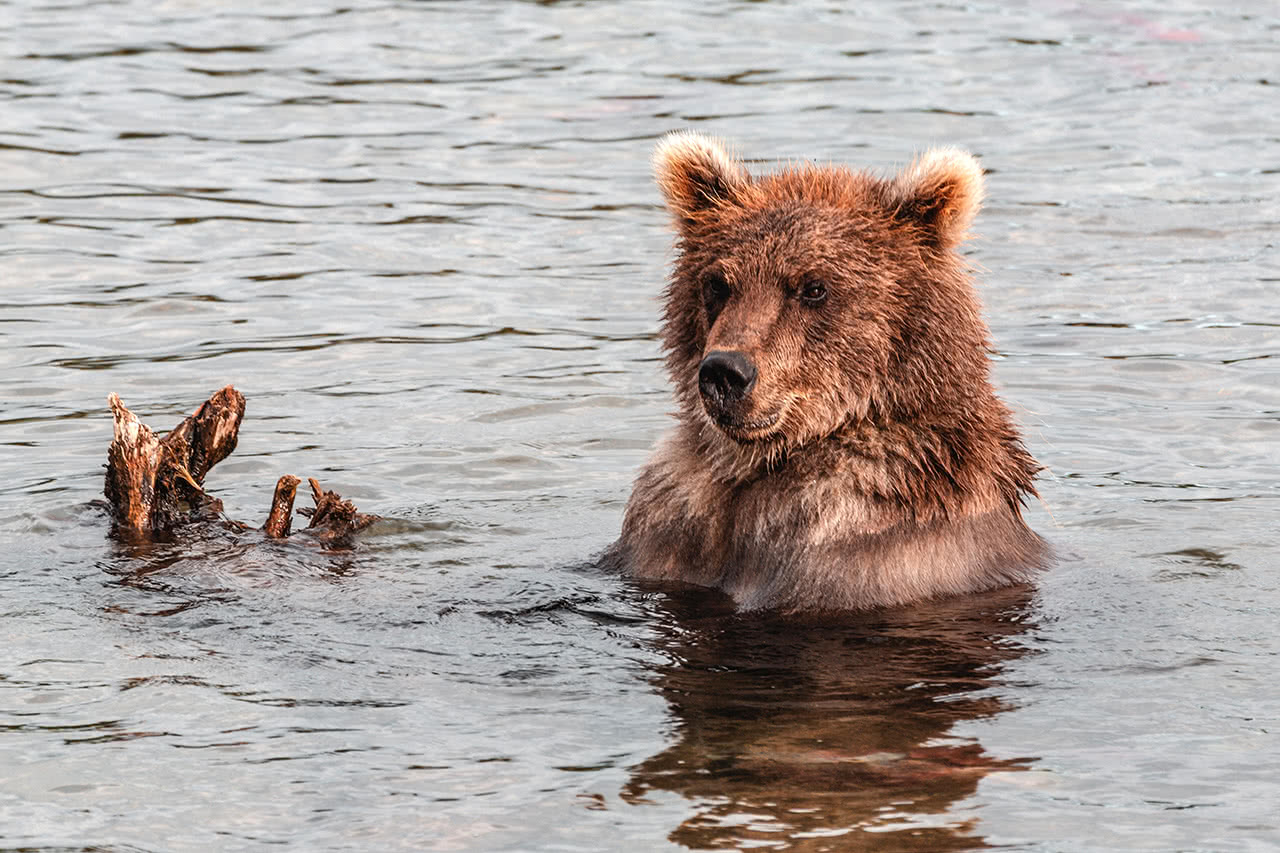Kamchatka brown bear at Kurilskoye Lake.