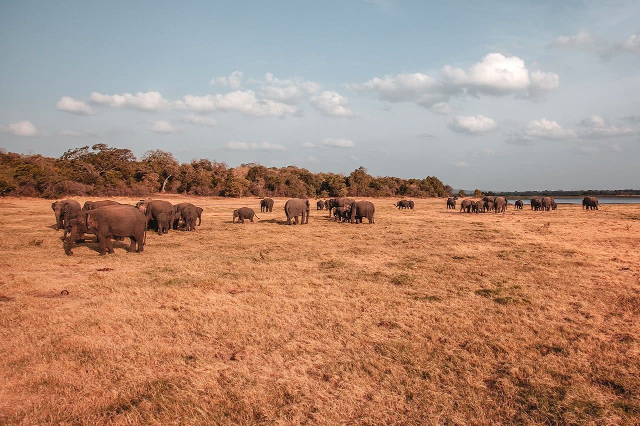The elephant gathering at Minneriya National Park, Sri Lanka.