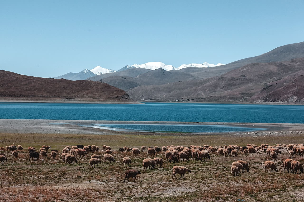 A flock of sheep graze with Yamdrok Lake in the background.