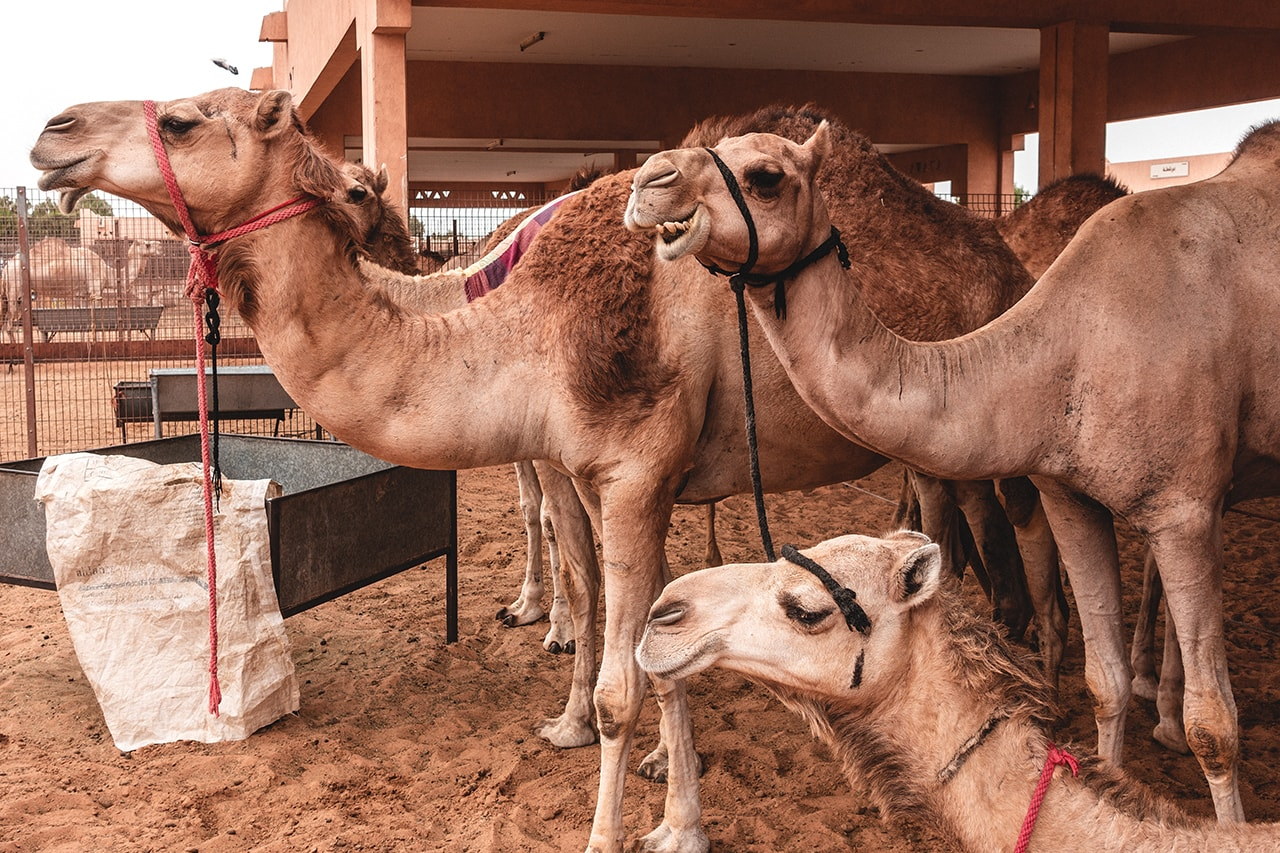 Al Ain Camel Market.