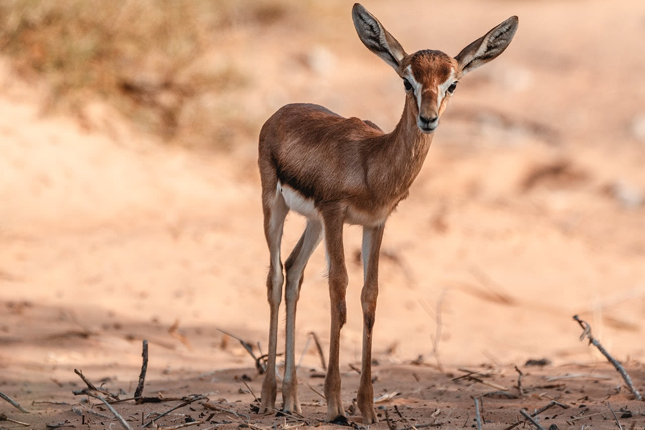 An Arabian Sand Gazelle in the Dubai Conservation Reserve.