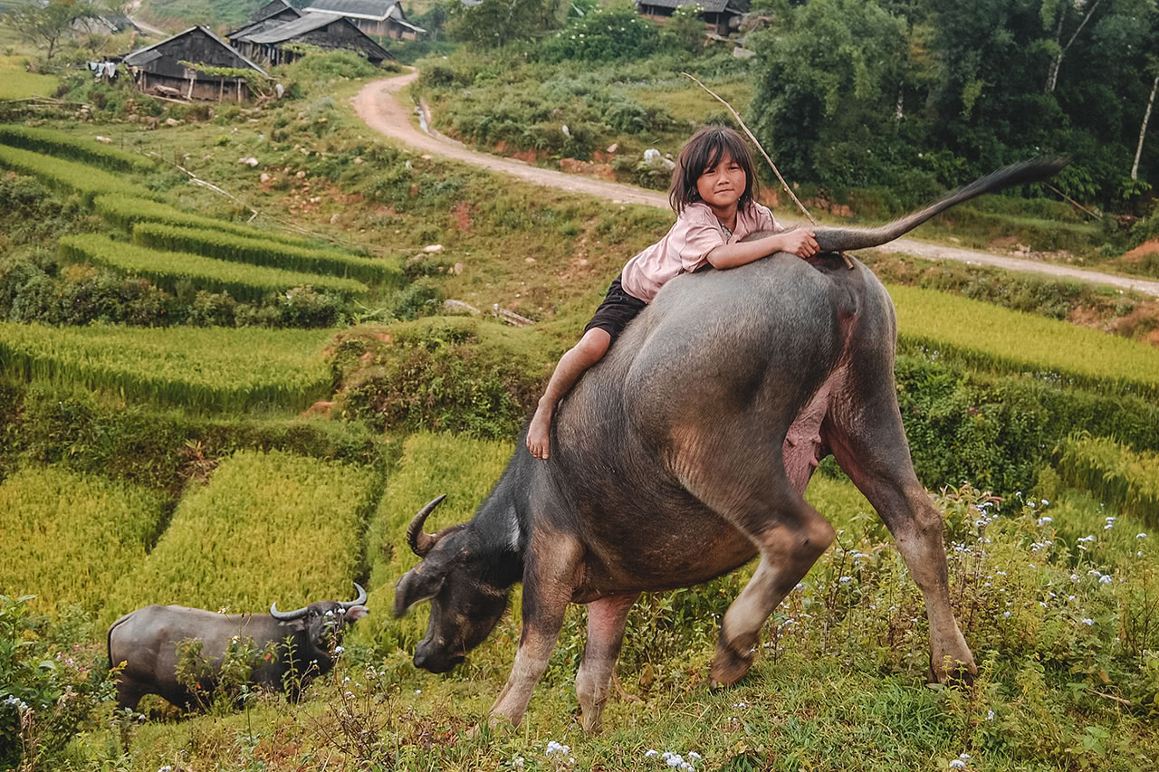 A young girl plays on the back of a water buffalo in Sapa.